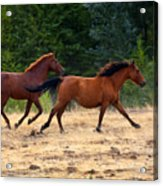 Mustang Gallop Acrylic Print by Mike  Dawson