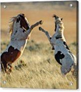 Mustang Rivalry Acrylic Print