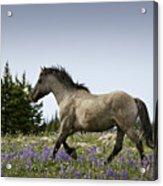 Mustang Running 2 Acrylic Print