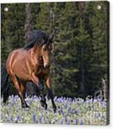 Mustang Stallion And Lupines Acrylic Print