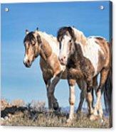 Mustang Twin Stallions Acrylic Print