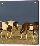 Mustangs In Nevada Acrylic Print