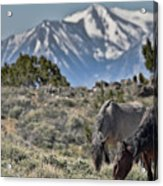 Mustangs In The Sierra Nevada Mountains Acrylic Print