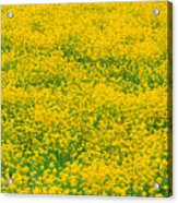 Mustard Flowers Acrylic Print