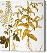 Mustard Plant, 1613 Acrylic Print