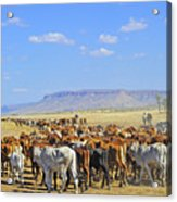 Mustering Passed The Cockburn Ranges Acrylic Print