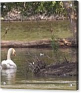 Mute Swan         St. Joe River          June         Indiana Acrylic Print