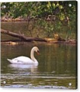 Mute Swan     Image 2      Spring        St. Joe River          Indiana Acrylic Print