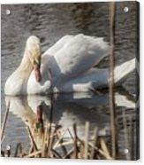 Mute Swan - 3 Acrylic Print
