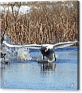 Mute Swan Chasing Canada Goose Acrylic Print