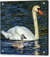 Mute Swan, Cygnus Olor, Mother And Baby Acrylic Print