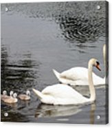 Mute Swan Family Day Two Acrylic Print