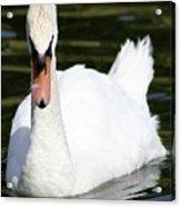Mute Swan Feathers Of Lake Junaluska North Carolina  Acrylic Print