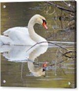 Mute Swan Glide II Acrylic Print