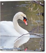 Mute Swan I Acrylic Print