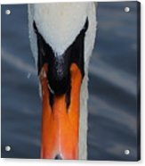 Mute Swan Acrylic Print
