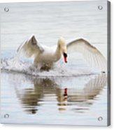 Mute Swan Landing I Acrylic Print
