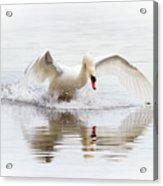 Mute Swan Landing II Acrylic Print