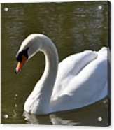 Mute Swan On Rolleston Pond Acrylic Print