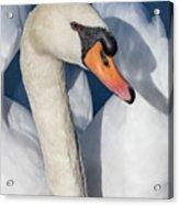 Mute Swan Portrait Acrylic Print
