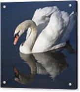 Mute Swan Reflected Acrylic Print