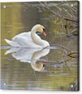 Mute Swan Reflection I Acrylic Print