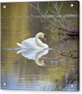 Mute Swan Reflection Acrylic Print