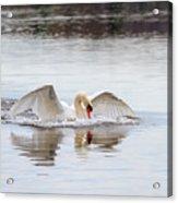 Mute Swan Swim Acrylic Print
