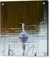 Mute Swan Swimming Away Acrylic Print
