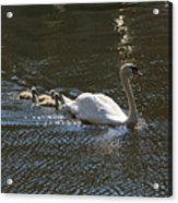 Mute Swan With Three Cygnets Following Acrylic Print
