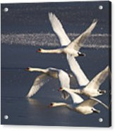 Mute Swans In Flight Acrylic Print
