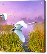 Mute Swans Over Marshes Acrylic Print