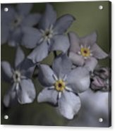 Muted Forget Me Not  Acrylic Print