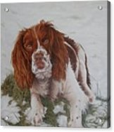 Muttley-the Best Springer Spaniel Acrylic Print