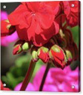 My Beautiful Geraniums And Buds - Images From The Garden Acrylic Print