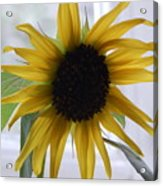 My Beautiful Sunflower Acrylic Print