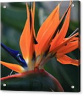 My Bird Of Paradise Acrylic Print by Valia Bradshaw