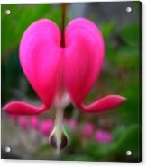 My Bleeding Heart Acrylic Print