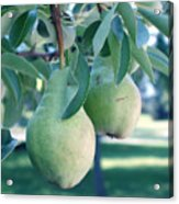 My Brothers Pear Tree Acrylic Print