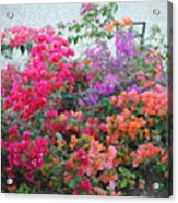 My Colorful Bouganville Acrylic Print