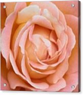 My Daily Rose Acrylic Print