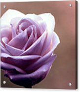 My Favorite Rose Acrylic Print