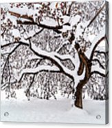 My Favorite Tree In The Snow Acrylic Print