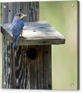 My First Bluebird Acrylic Print