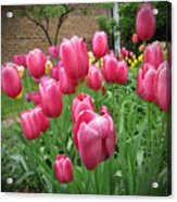 My Focus Was On The Tulips Acrylic Print