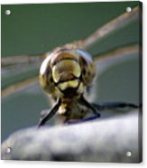 My Friend Vince The Dragonfly Acrylic Print