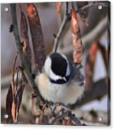 My Little Chickadee Acrylic Print