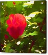 My Love Is Like  A Red Red Rose Of Sharon Acrylic Print
