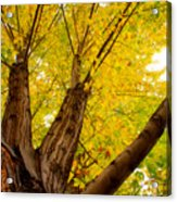 My Maple Tree Acrylic Print