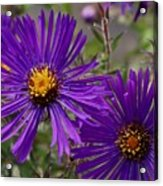 My Purple Ways Acrylic Print